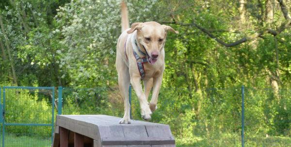 Psia radocha, agility we krwi