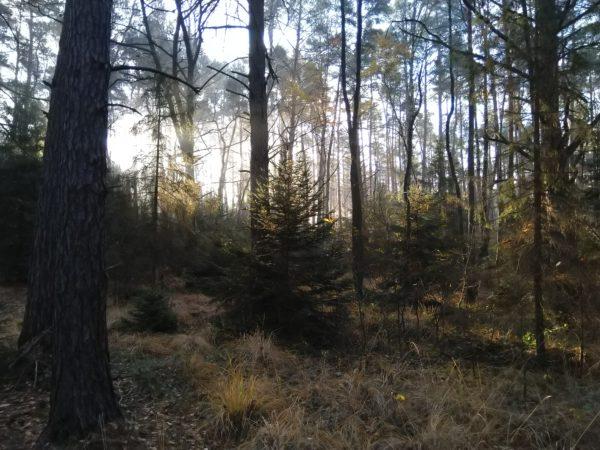 Poranne słońce przebija przez leśne knieje