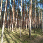 Śpio chłopy po lasach